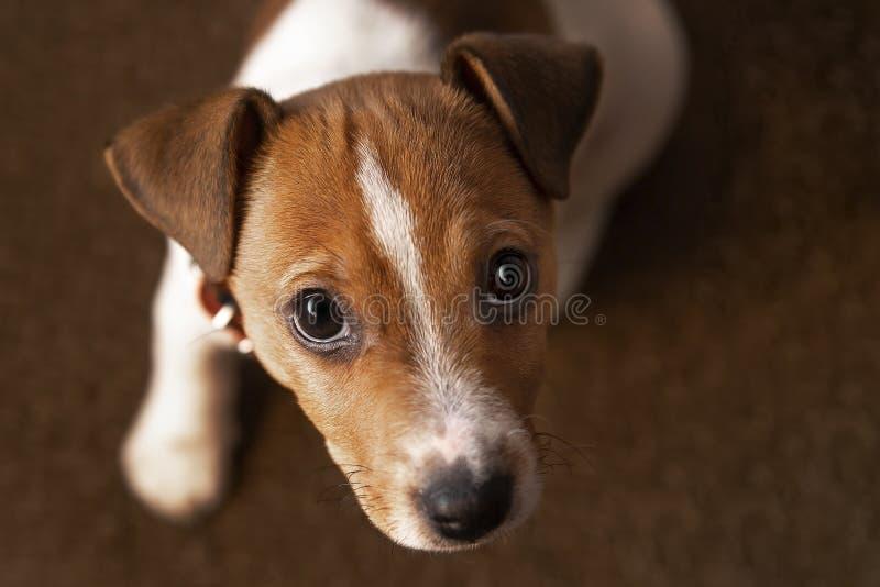 逗人喜爱的havanese小狗是坐前面和看照相机,在棕色背景 免版税库存照片