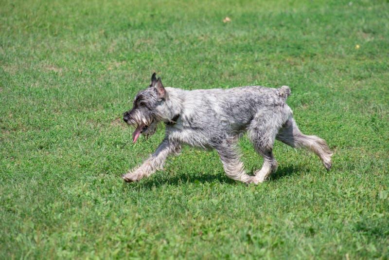 逗人喜爱的mittelschnauzer或标准髯狗在绿草跑在公园 ?? 免版税图库摄影