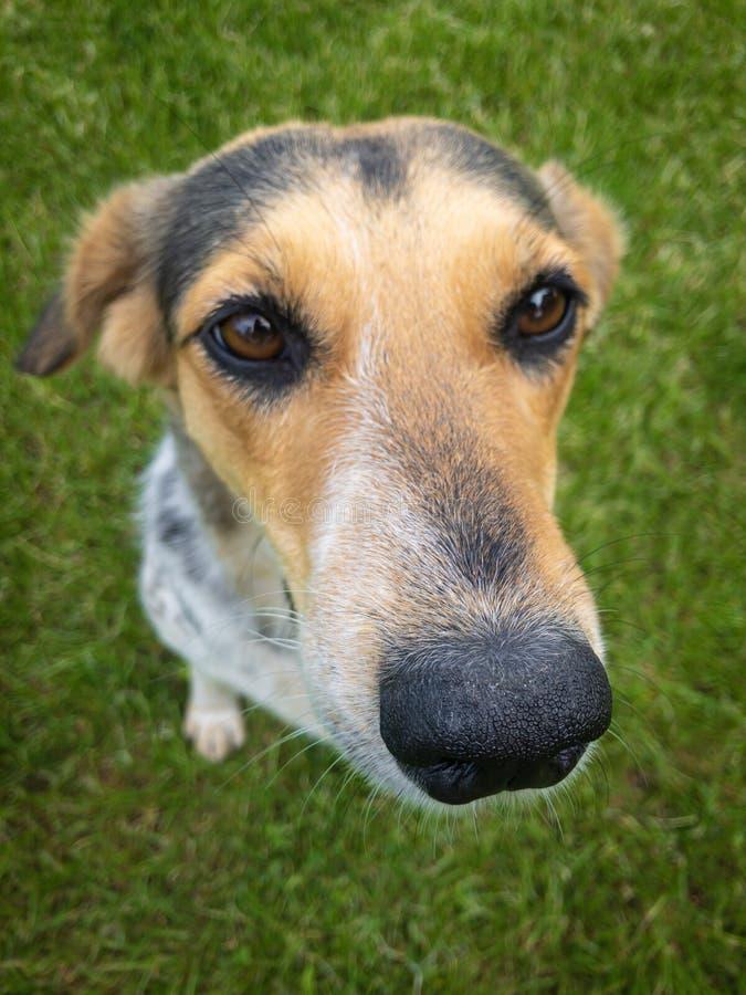 逗人喜爱的mixed-breed狗特写镜头画象坐绿色草坪 免版税库存照片