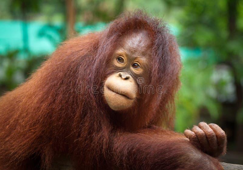 逗人喜爱的Orangutang 免版税库存图片