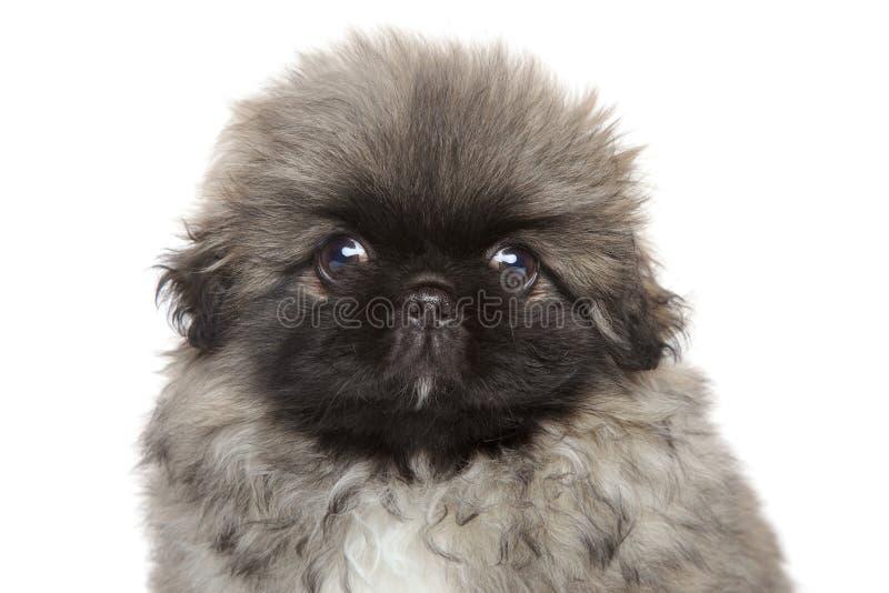 逗人喜爱的Pekingese小狗 图库摄影