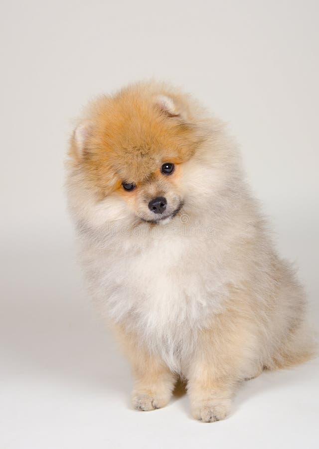 逗人喜爱的pomeranian小狗 免版税图库摄影