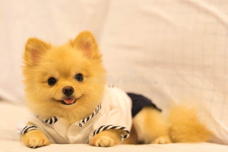 逗人喜爱的pomeranian狗佩带的学生衬衣,微笑在有拷贝空间的沙发 库存图片