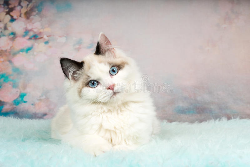 逗人喜爱的ragdoll小猫在用花装饰的背景中 库存照片