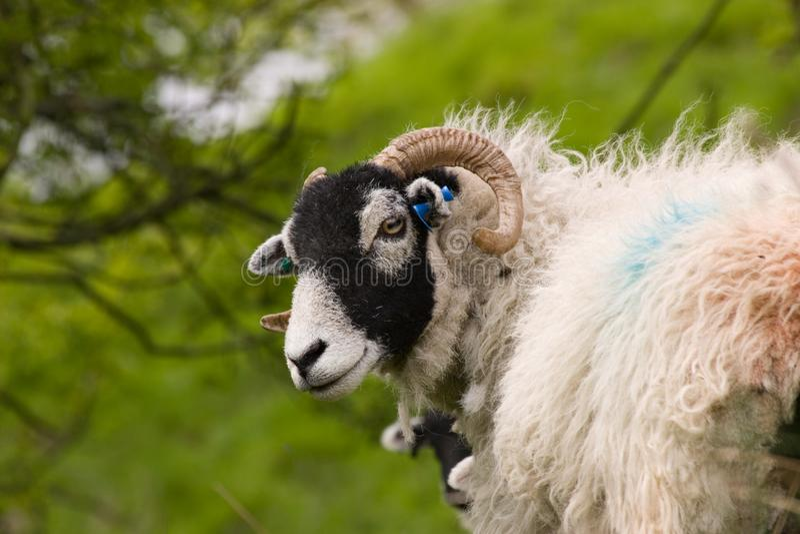 逗人喜爱的Swaledale绵羊 免版税库存照片