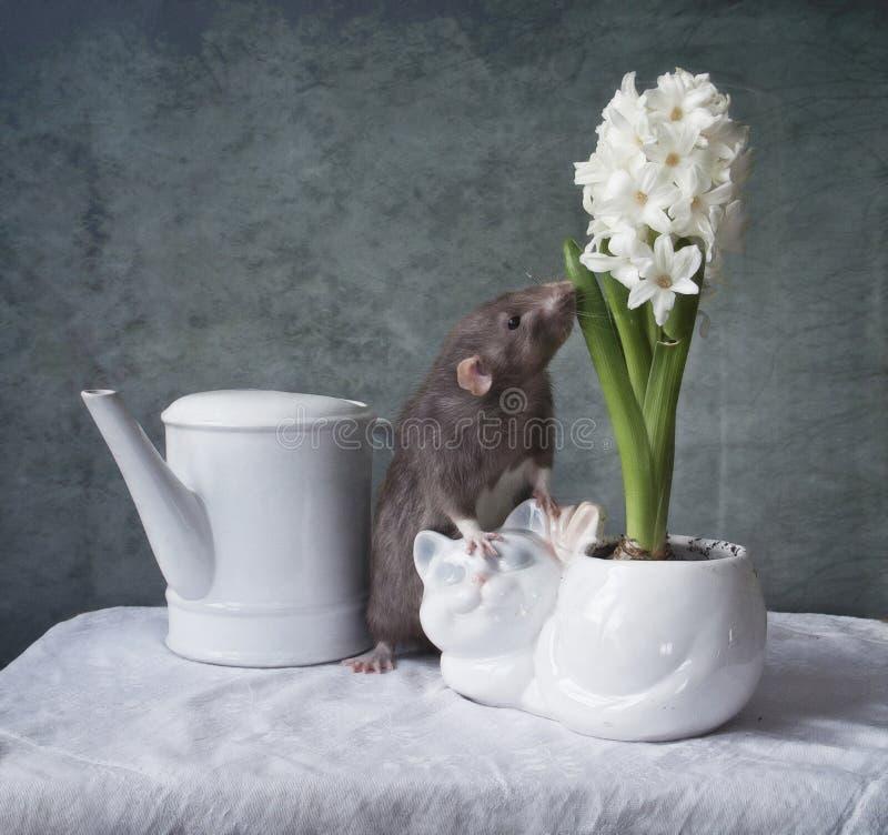 逗人喜爱矮小灰色鼠嗅白色风信花花 农历新年标志 免版税库存图片