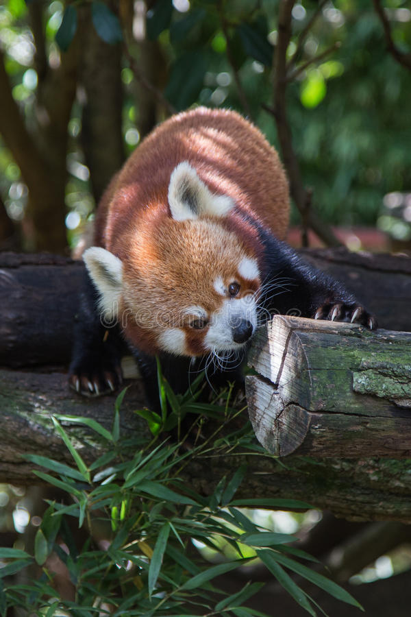 逗人喜爱红熊猫使用 免版税库存照片
