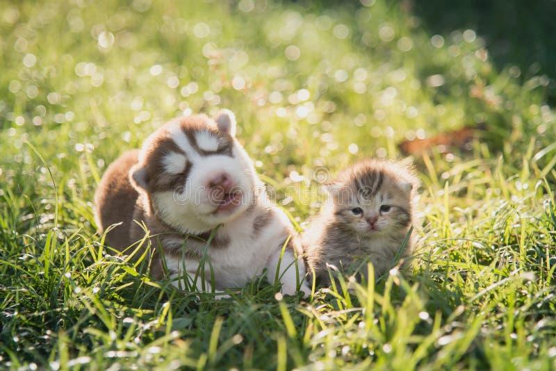 逗人喜爱西伯利亚爱斯基摩人小狗和平纹小猫说谎 免版税图库摄影