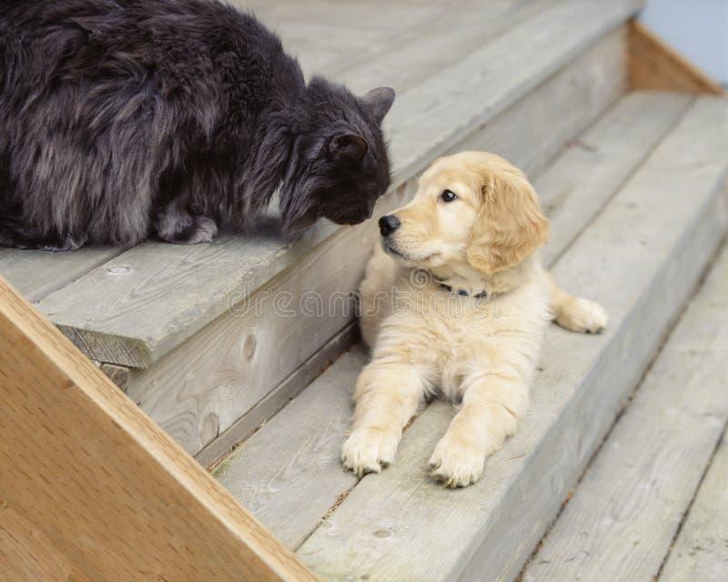 逗人喜爱,滑稽的动物朋友金毛猎犬小狗狗和猫宠物 免版税库存图片