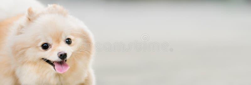 逗人喜爱pomeranian狗微笑滑稽,与拷贝空间,水平的长方形图象,在眼睛的焦点 免版税库存照片