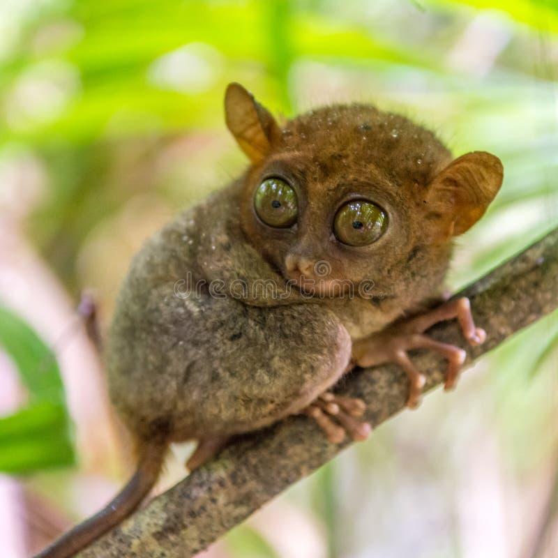 逗人喜爱tarsier在保和省 免版税库存图片