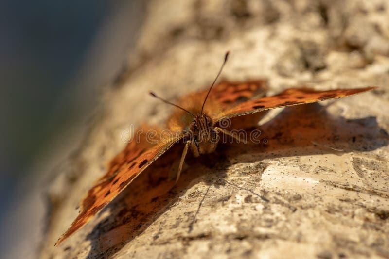 逗号蝴蝶坐桦树树干在阳光下 库存图片