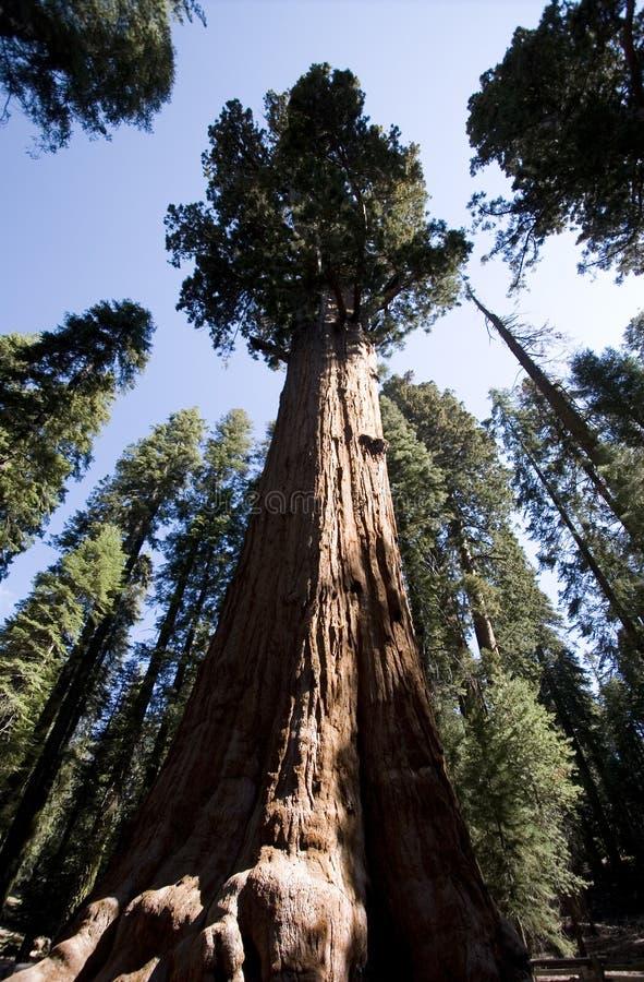 通用美国加州红杉谢尔曼结构树 免版税库存图片