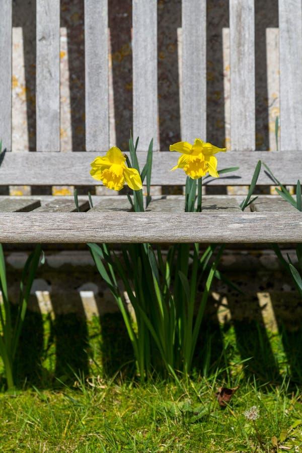 黄水仙通过一条木板条做的长凳-画象推出 库存照片