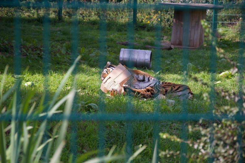 通过动物园酒吧:老虎充当它的封入物,说谎在草 库存图片