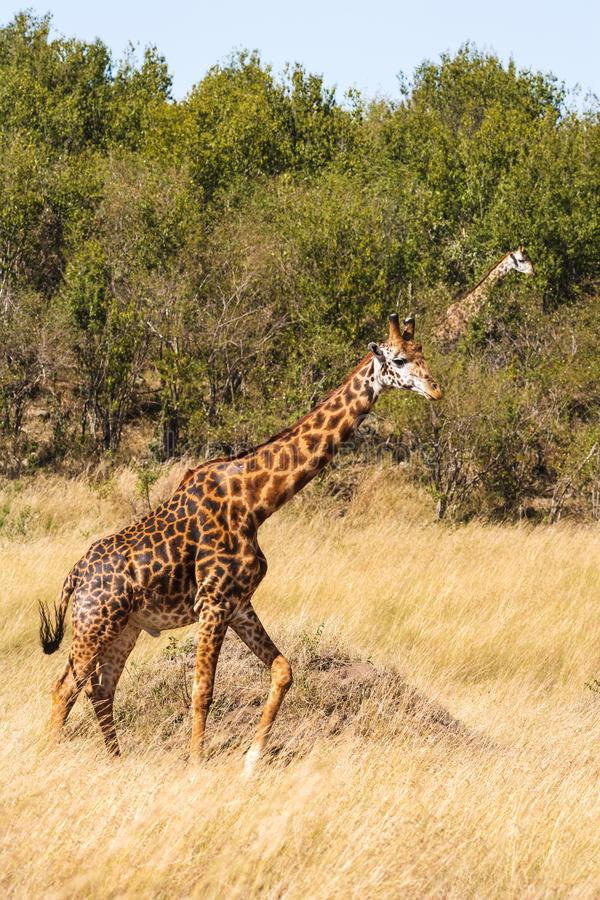 通过大草原跑的两头长颈鹿 肯尼亚mara马塞语 免版税库存照片