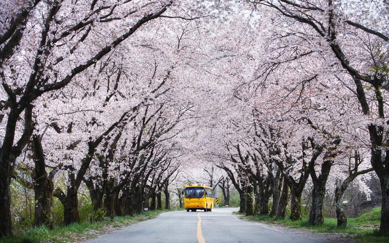 通过樱花隧道的黄色公共汽车 库存图片