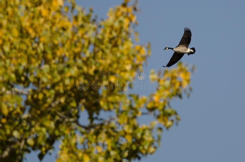 通过秋天树的孤立加拿大鹅飞行 免版税库存照片