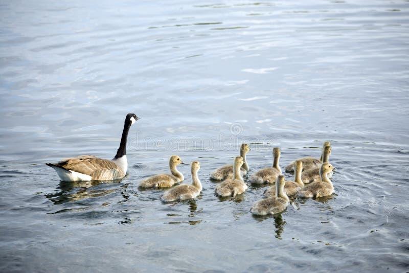 通配加拿大鹅的幼鹅十 免版税库存图片