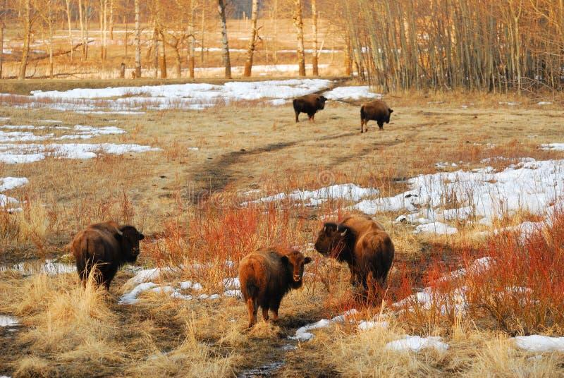 通配北美野牛的牧群 图库摄影