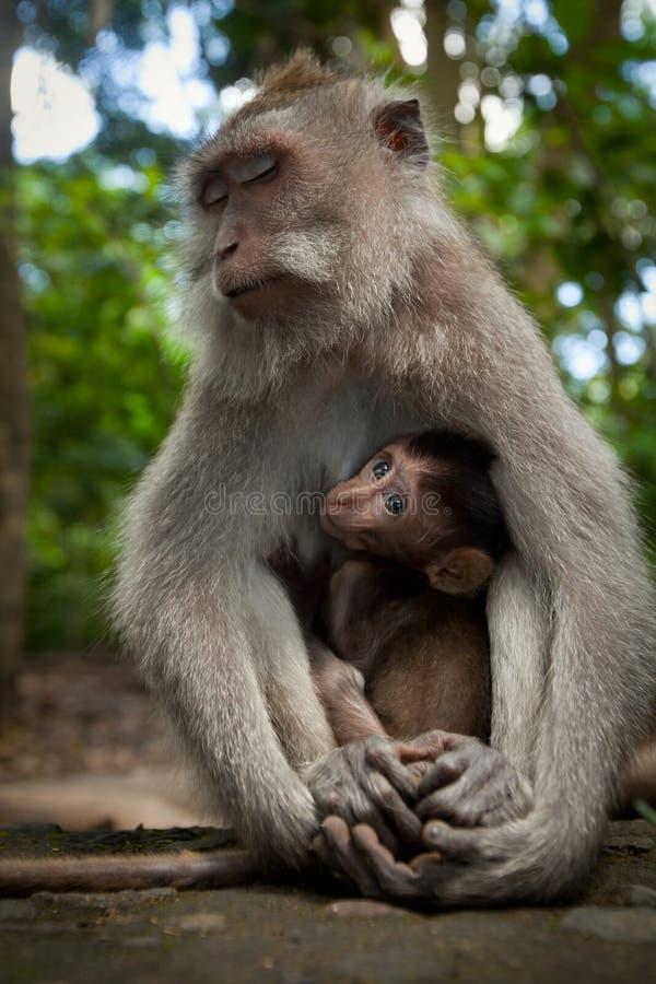 通配巴厘岛的猴子 免版税库存图片
