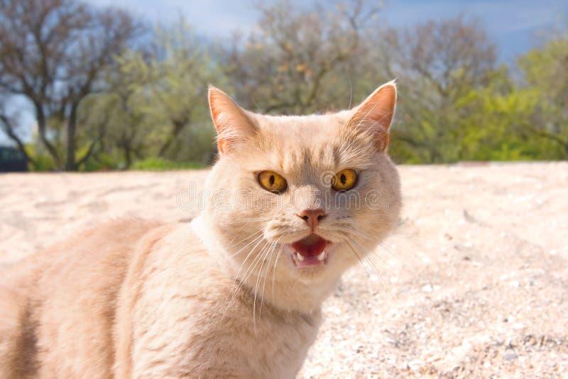 通配恼怒的猫 免版税库存照片