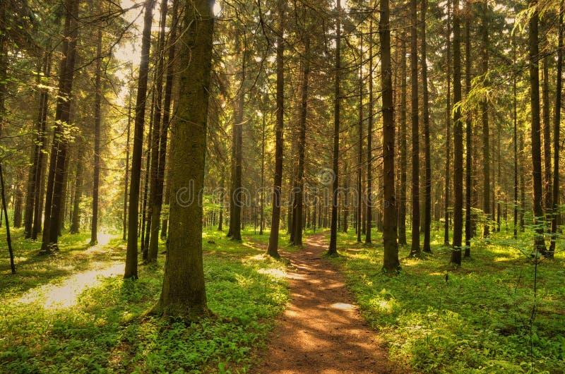 通配森林的路径 库存图片