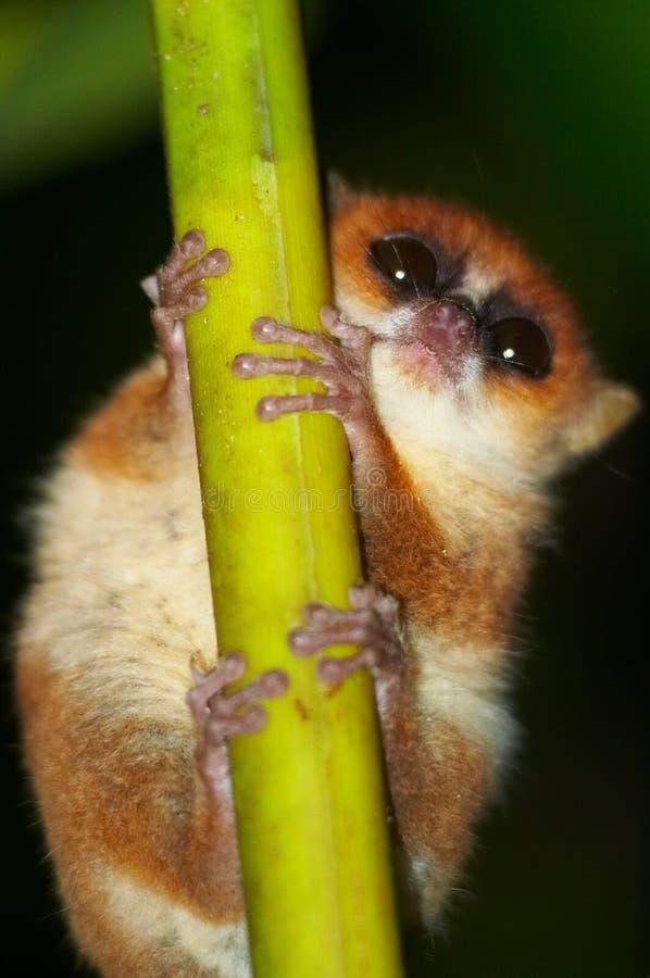 通配狐猴的鼠标 免版税库存照片