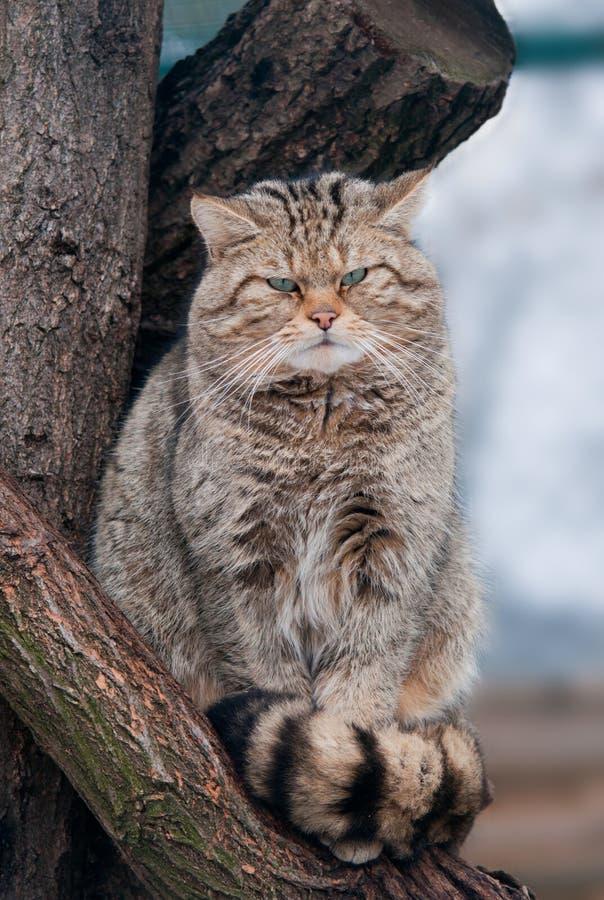 通配猫猫属silvestris 免版税库存图片