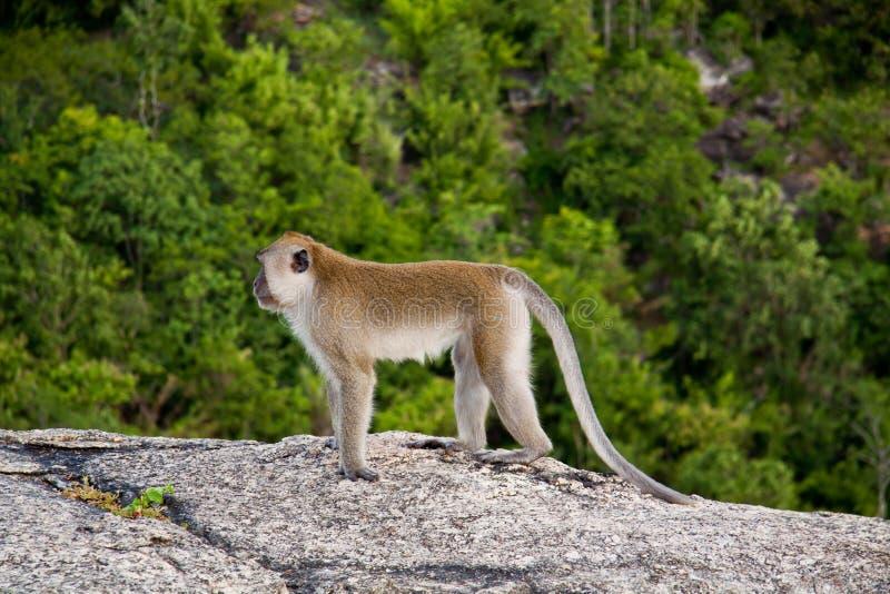 通配猴子的山 免版税库存照片