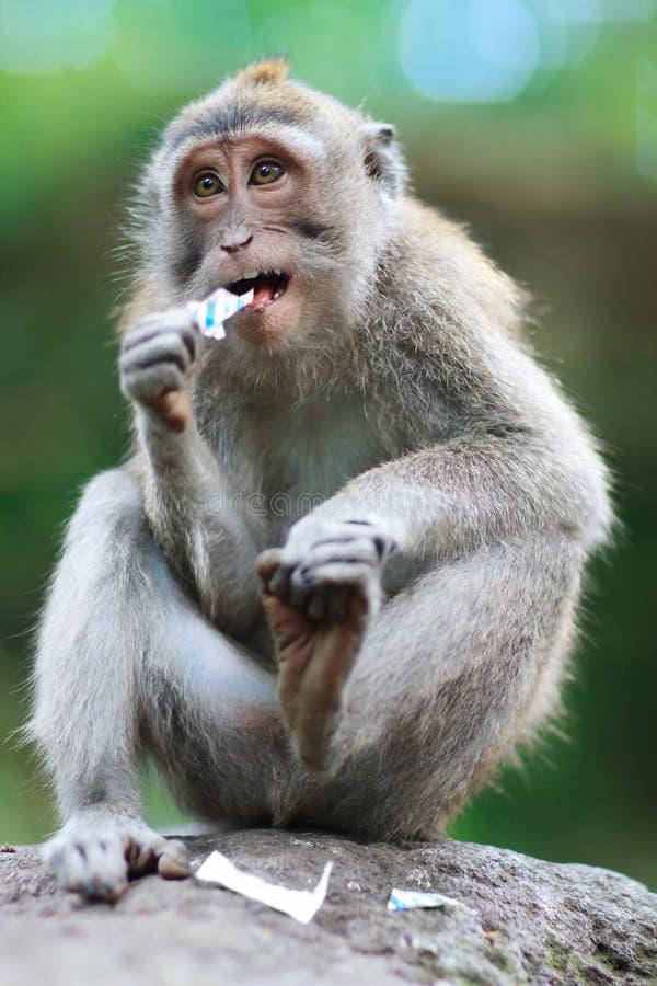 通配猴子的纵向 免版税库存图片
