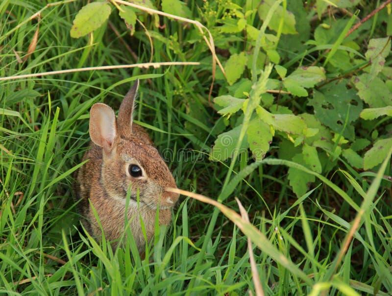 通配的兔子 免版税库存图片
