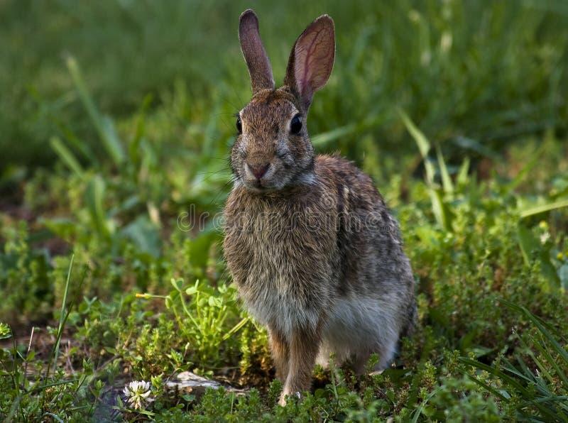通配的兔宝宝 库存图片