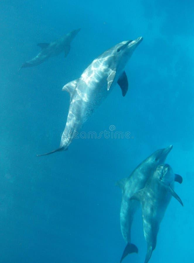 通配的海豚 图库摄影
