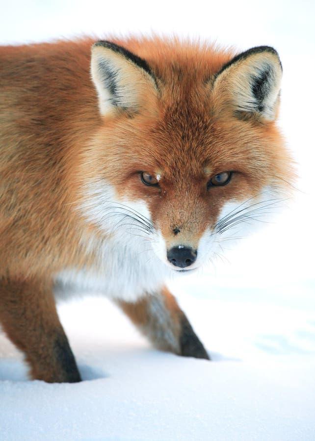 通配的狐狸 库存照片