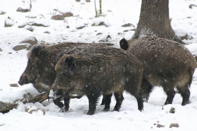 通配的猪 免版税图库摄影