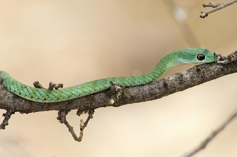 通配的绿眼镜蛇 免版税库存图片