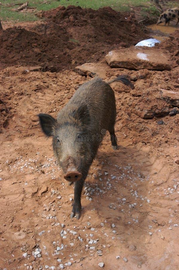 通配的肉猪 库存照片