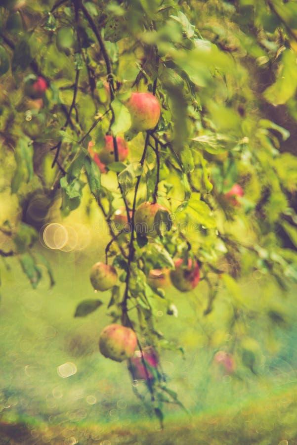 通配的苹果树 免版税库存图片