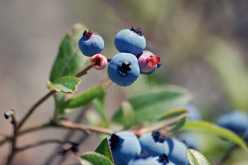 通配的蓝莓 免版税库存照片