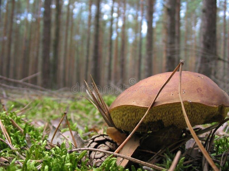 通配的蘑菇 库存照片
