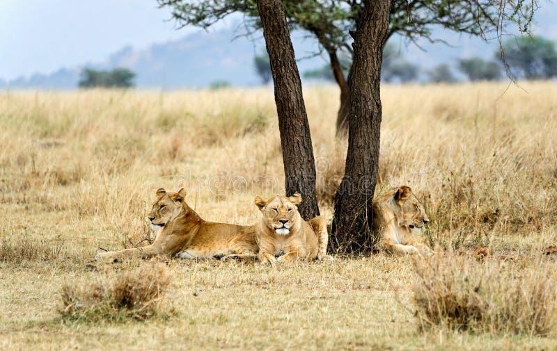 通配的雌狮 免版税库存照片