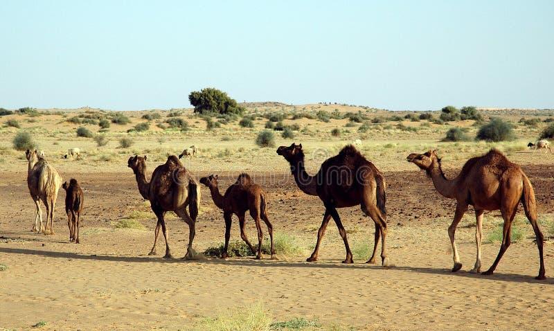 通配的骆驼 免版税图库摄影