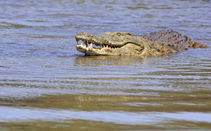 通配的鳄鱼 库存照片
