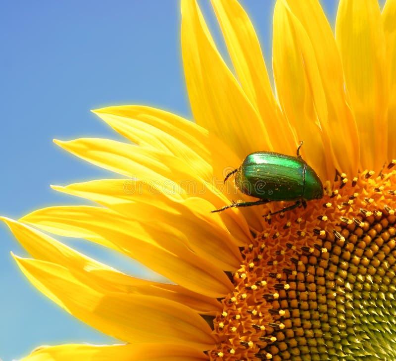 通配臭虫绿色的向日葵 库存图片