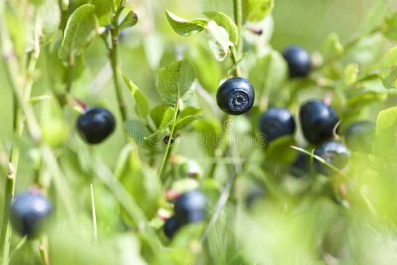 通配蓝莓 免版税库存图片