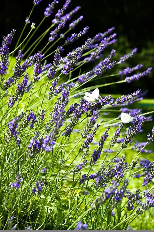 通配蝴蝶的淡紫色 免版税库存照片