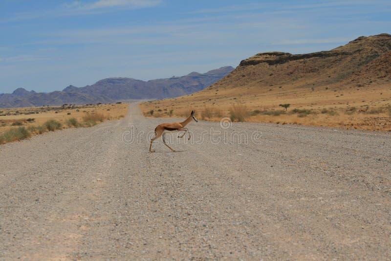 通配跳羚横穿土路纳米比亚 免版税图库摄影