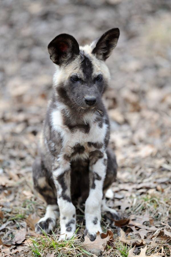 通配非洲狗的小狗 库存照片