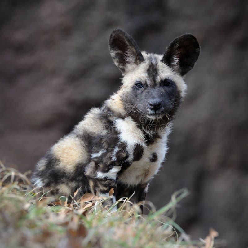 通配非洲狗的小狗 免版税库存照片